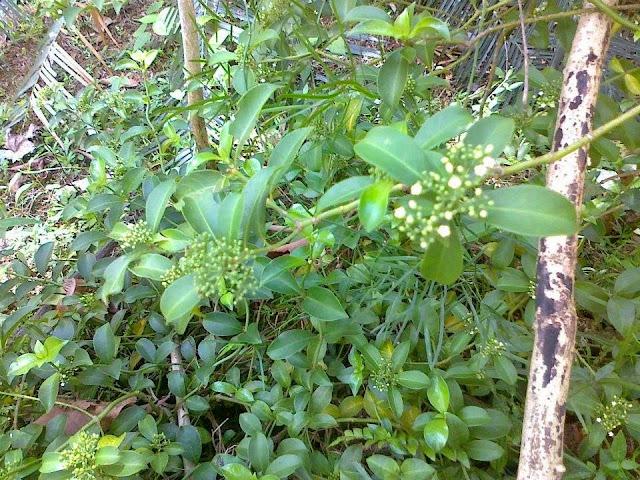 ගොනුකෑ / ගොනිකා වැල් [Gonuke / Gonika] (Psychotria Sarmentosa) - Your Choice Way
