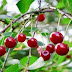 9 Cherry fruit Benefits for health