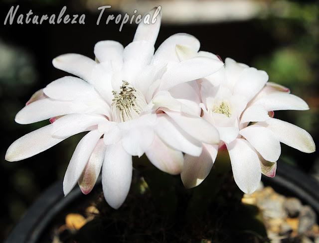 Flores características en coloración blanca de los cactus del género Gymnocalycium