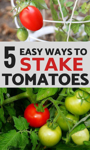 How to Stake Tomatoes Ideas Plant