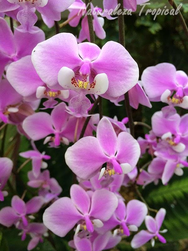 Variedad rosada de la orquídea Mariposa, género Phalaenopsis