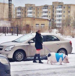 Grappige foto: varken uitlaten