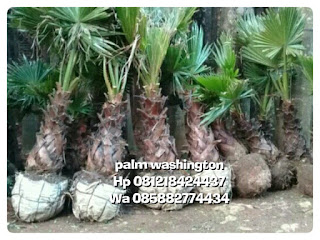 Harga jual pohon palm washington , palm uban
