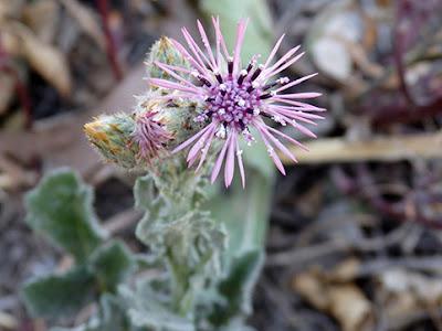 (Centaurea spaerocephala)