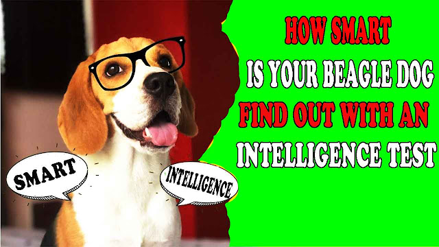 How smart is your beagle dog Find out with an intelligence test
