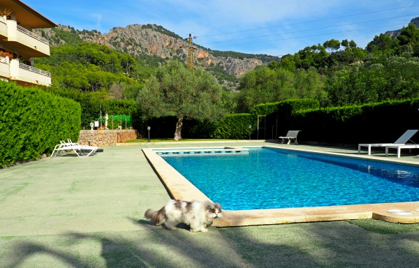 persian cat around swimming pool