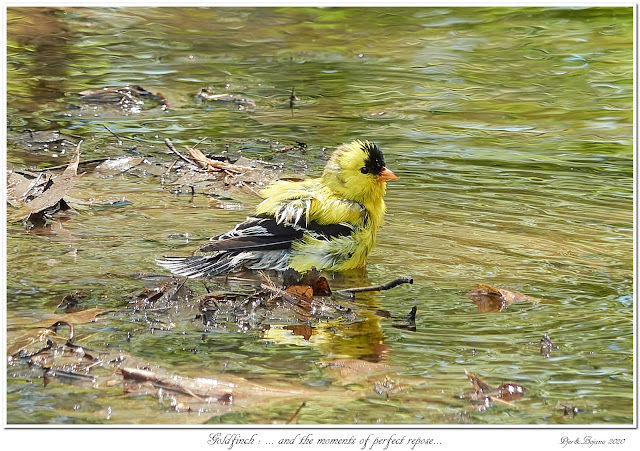 Goldfinch: ... and the moments of perfect repose...