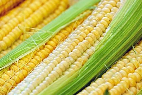 Nagyobb területen vetettek kukoricát a Tolna megyei termelők