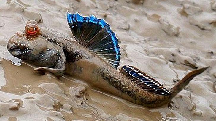 Cara Ikan Berenang, dan Ikan yang Berjalan di Darat, Belajar Sampai Mati, belajarsampaimati.com, hoeda manis