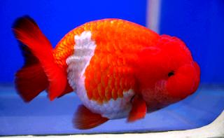 Cara mudah memelihara ikan mas koki