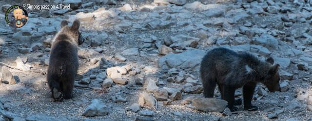 orsi slovenia due cuccioli di orso