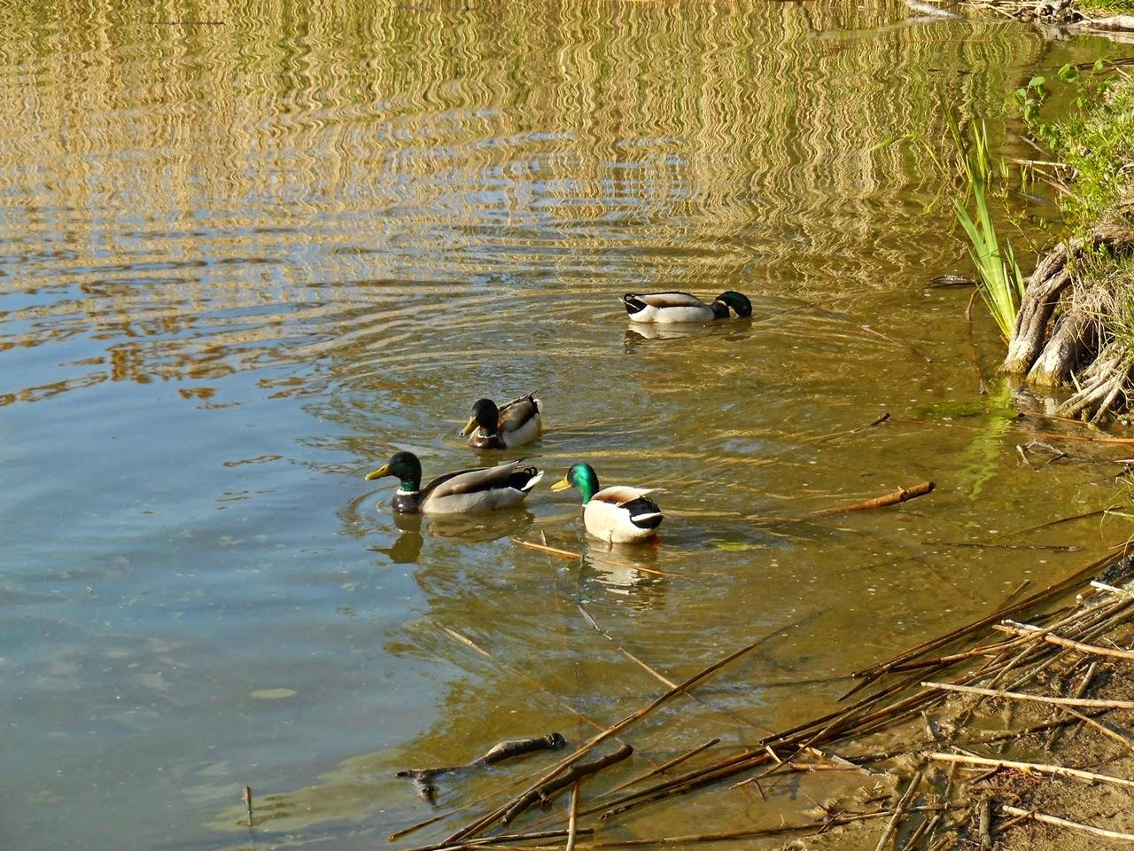 ptaki wodne, rośliny wodne, jezioro, Wolsztyn