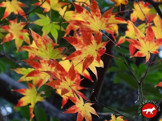 Érable en automne à Kyoto au Japon dans un temple