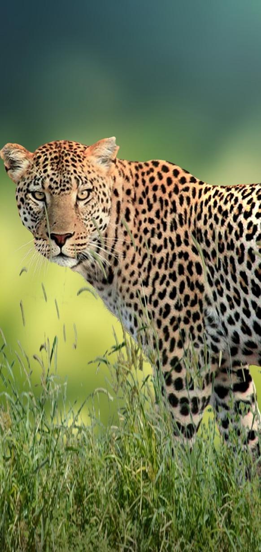 Curious leopard.
