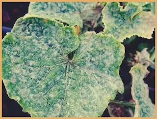 tratament mucegai alb frunzele florilor de apartament