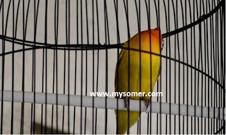 https://www.mysomer.com/2019/08/keistimewaan-lovebird-ngekek-gaya-kepala-dengklak.html