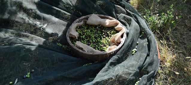 raccolta olive redoro