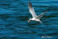 Elegant tern with fish, Moss Landing, CA Sept. 24, 2016, by Roberta Palmer