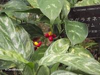 Aglaonema, a jungle plant - Kyoto Botanical Gardens Conservatory, Japan
