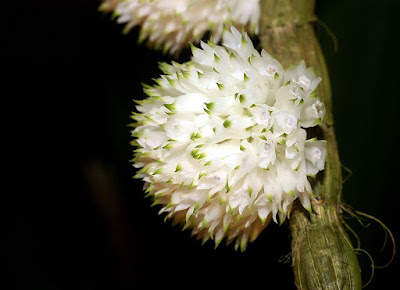 Dendrobium purpureum care and culture