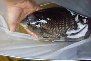 Complete Guide In Aquaculture Of Carp Fish For Maximum Results