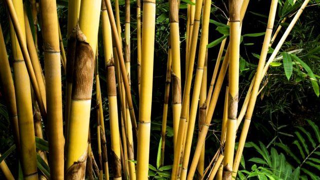 Tanaman Penghancur Santet Bambu Kuning