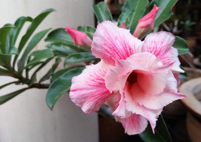 kemboja bonsai