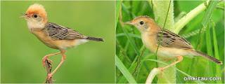 Burung Ciblek - Jenis Burung Ciblek Jucidis - Penangkaran Burung Ciblek