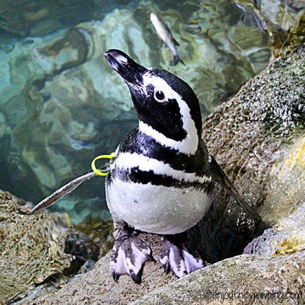 Magellanic penguin standing on a rock near water
