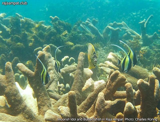Moorish Idol and Butterflyfish from Waigeo island