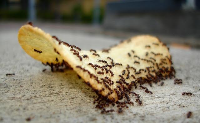 cara aman usir semut
