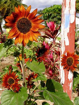 Sunflowers growing in backyard farm.