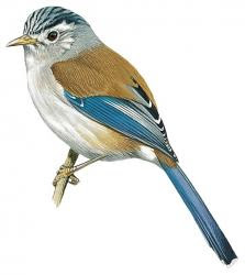 Blue-winged Minla