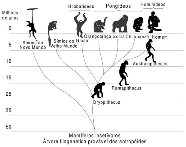 Mamíferos insetívoros. Árvore filogenética provável dos antropóides