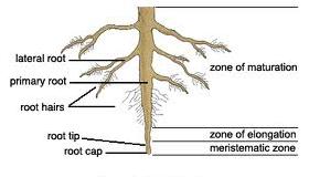 root cempedak