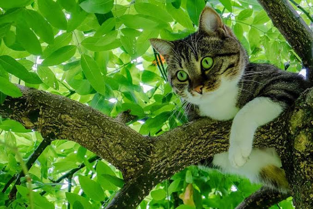 Kucing Memang Jago Memanjat Tapi Sering Tak Bisa Turun dari Pohon, Kenapa?