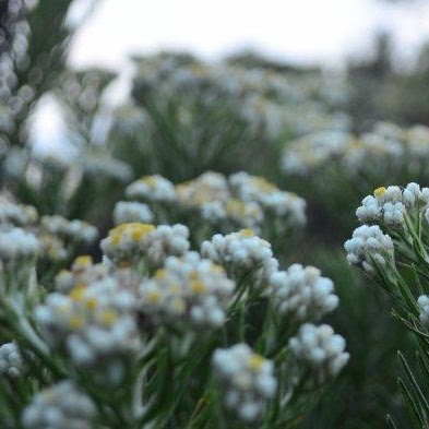 Bunga Edelweiss : Mengenal Lebih Dekat Dengan Bunga Abadi (Edelweis)