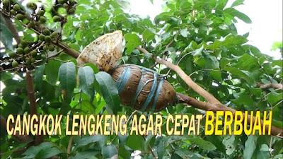 cara mencangkok pohon kelengkeng