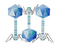 How Phages Kill Bacteria, the Procedure