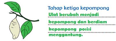 Tahap ketiga kepompong www.simplenews.me