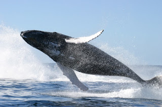 People such as Dawkins say the whale is one of the best examples of evolution are full of hooey. Reason, science, especially genetics show otherwise.