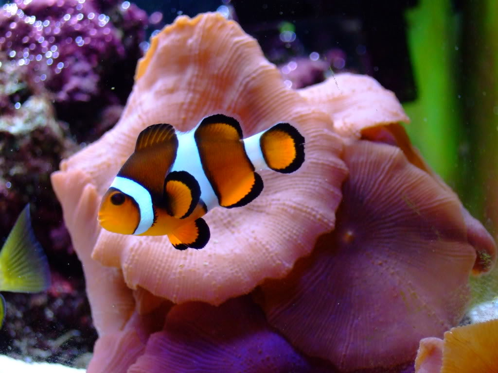 Clown fish wallpapers fun animals wiki videos pictures for Blue clown fish