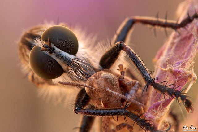 Robber Fly Up Close