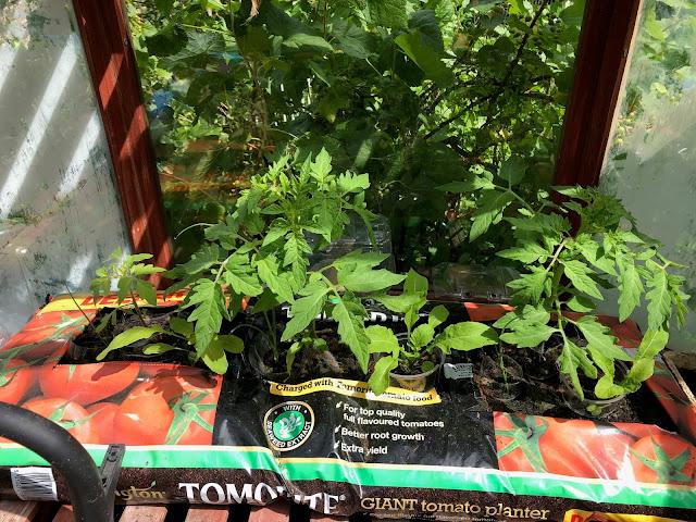 Chez Maximka, growing tomatoes in gro-bags