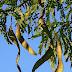 Realizarán extracción de árboles exóticos en el Camping
