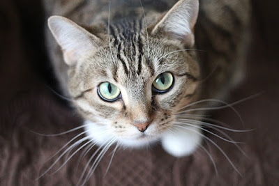 A sweet grey tabby looks up to the camera