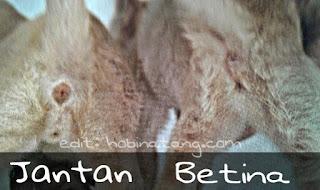 Membedakan Kucing Jantan Dan Betina