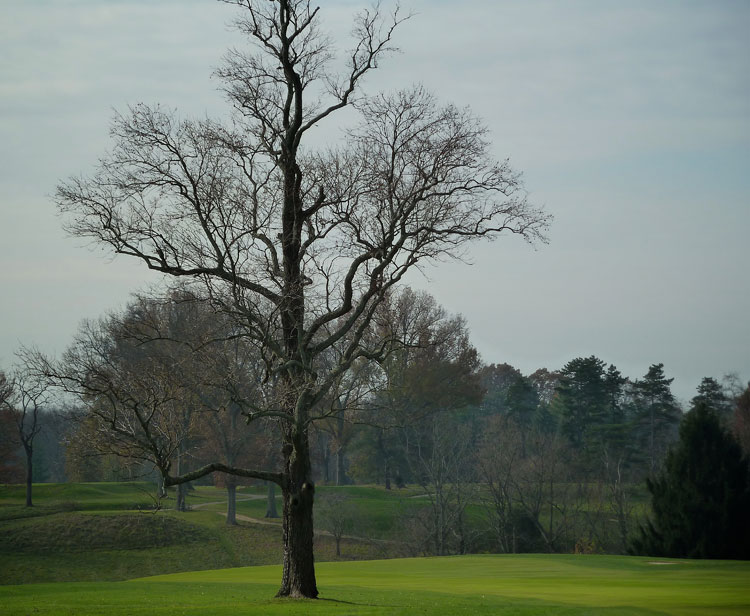 The Cincinnati Champion Common Persimmon tree (Diospyros virginiana) at Camargo Country Club in Indian Hill