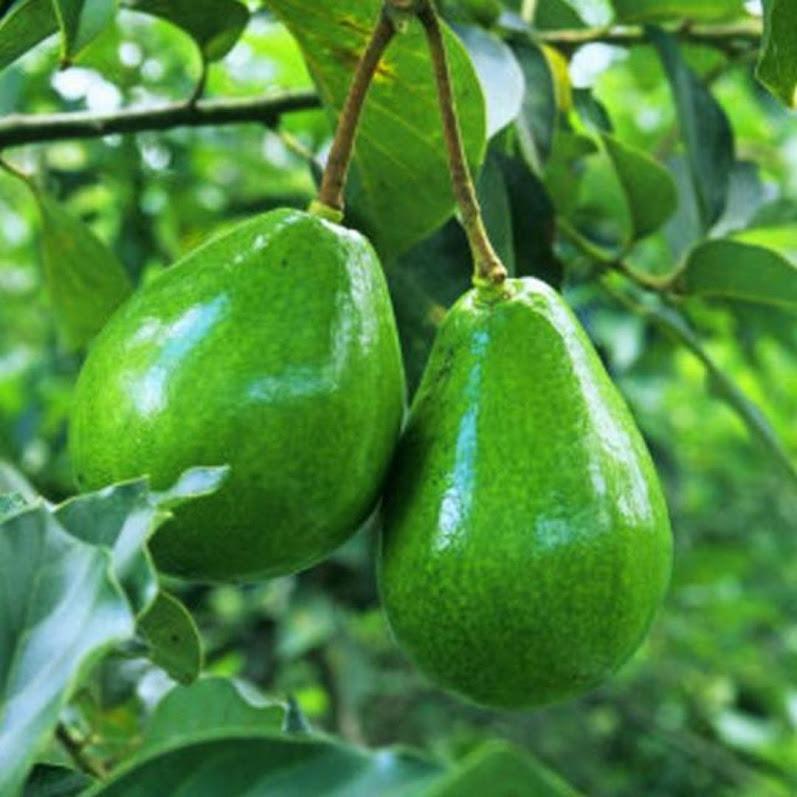 Bibit alpukat mentega hijau Sumatra Barat