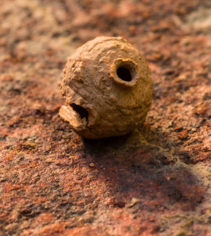 Picture of a mud wasp pot nest.